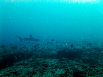 Shark I saw in Jupiter, Florida while diving